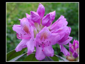 rhododendrondondrendoh