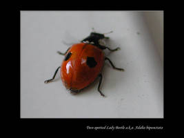 Lady Beetle by zironjones