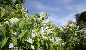 Lilacs with an angle