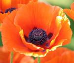 Poppy bloom