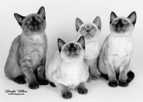 Baby Siamese Cats