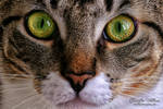 The eyes of the cat