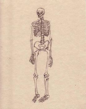 skeletal study- front