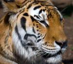Tiger Squared