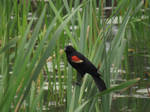 Perched Among the Reeds