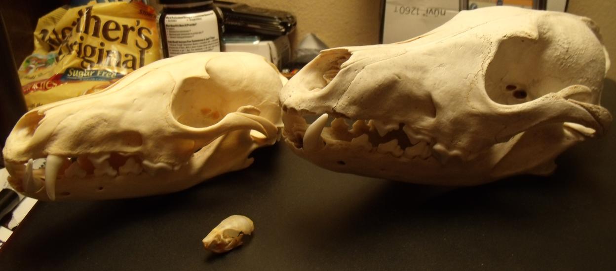 My skulls. by Khrests