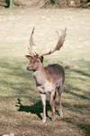 Deer 33.0