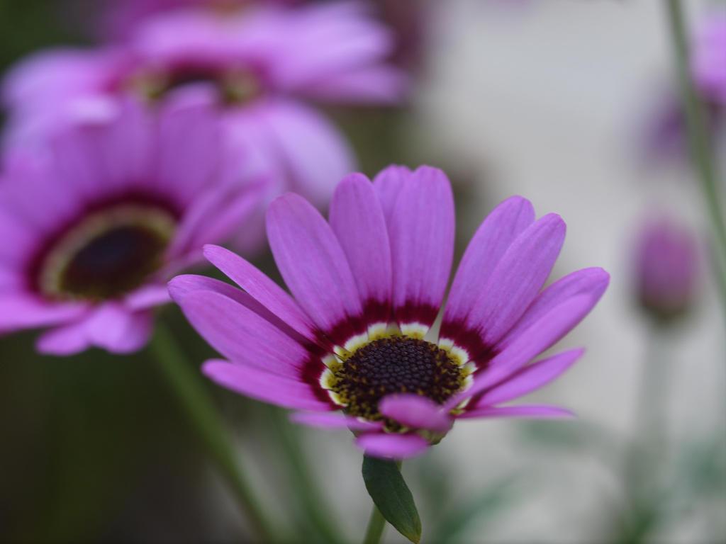 Soft Petals 3 by JohnlockedDancer