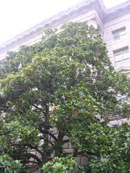 Waxy Magnolia