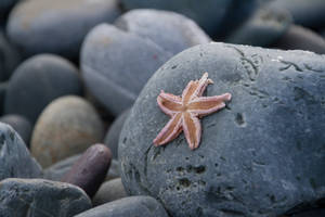 Starfish on the Rocks by AmblingPhotographer