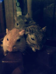 Gang of Rodents