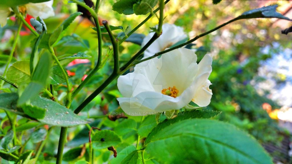 Little white rose by rosesienna