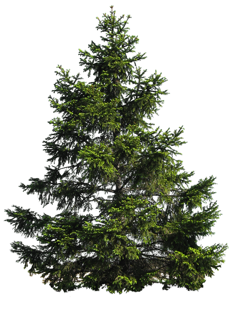 Image result for BLACK PINE  PNG