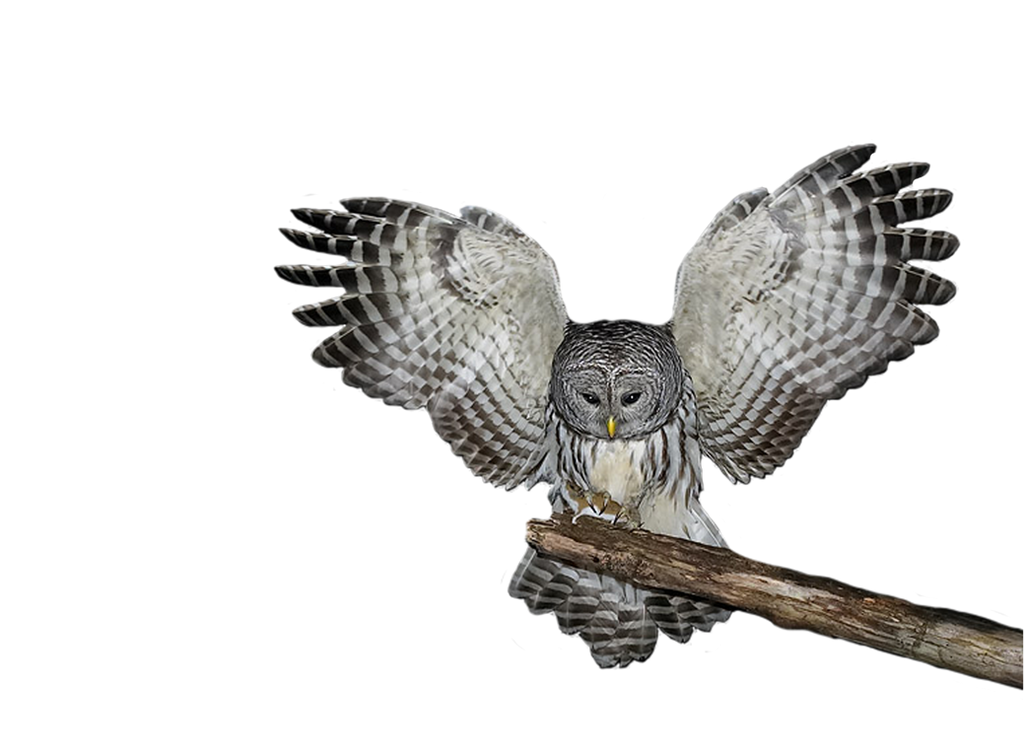 Png Owl by Moonglowlilly on DeviantArt