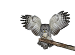 Png Owl