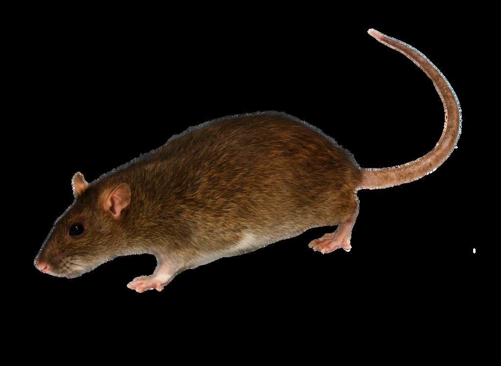 Png  Rat 2