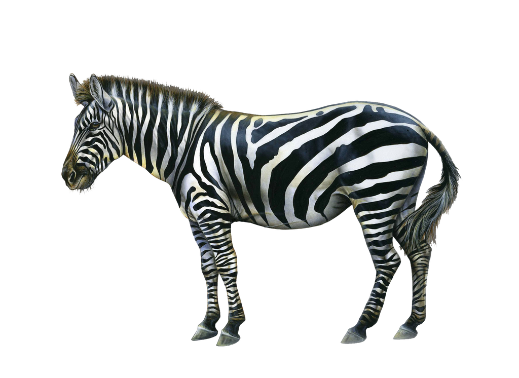 Png Zebra by Moonglowlilly