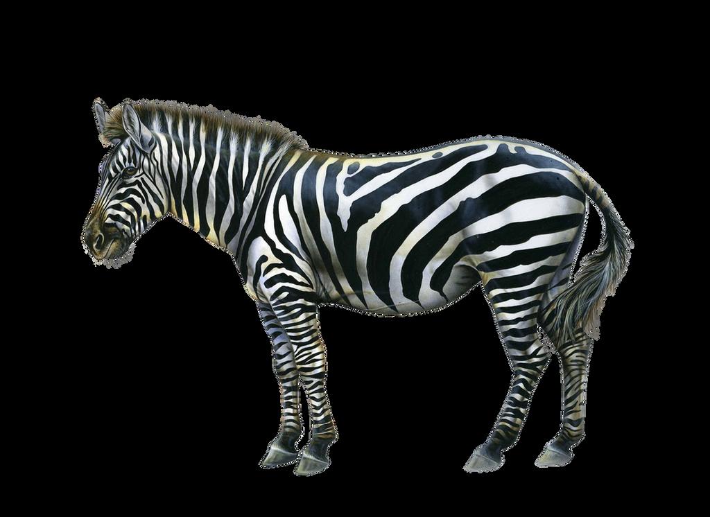 سكرابز طيور وحيوانات صور حيوانات للتصميم صور حيوانات مفرغة بدون png_zebra_by_moonglowlilly-d5n7vno.png