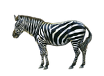 Png Zebra