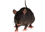 Png Rat