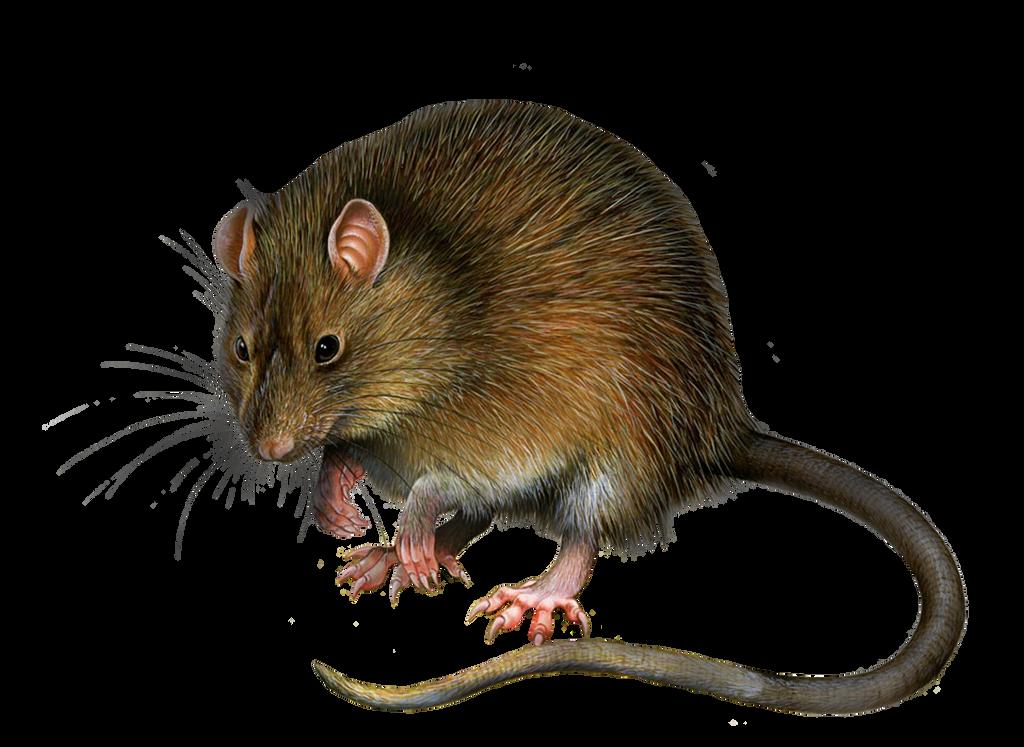 Png Rat 3