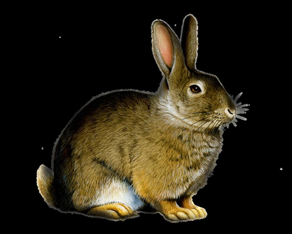 Png Rabbit