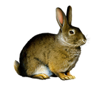 Png Rabbit