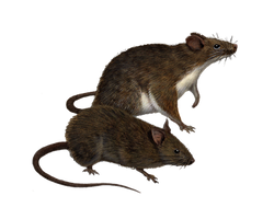 Png Rats 5 by Moonglowlilly
