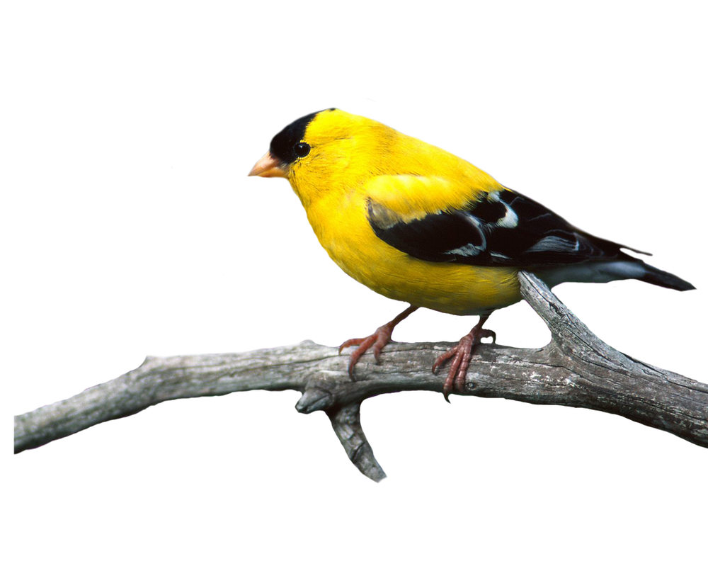 Http Moonglowlilly Deviantart Com Art Bird Png 22 341351434