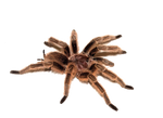 Png Spider