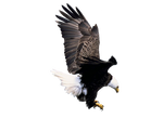 Pre Cut Eagle 2