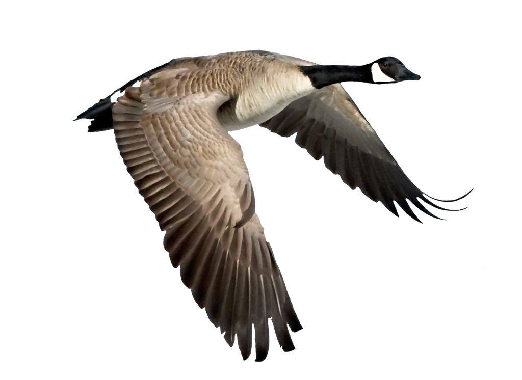 Goose Flying Clipart