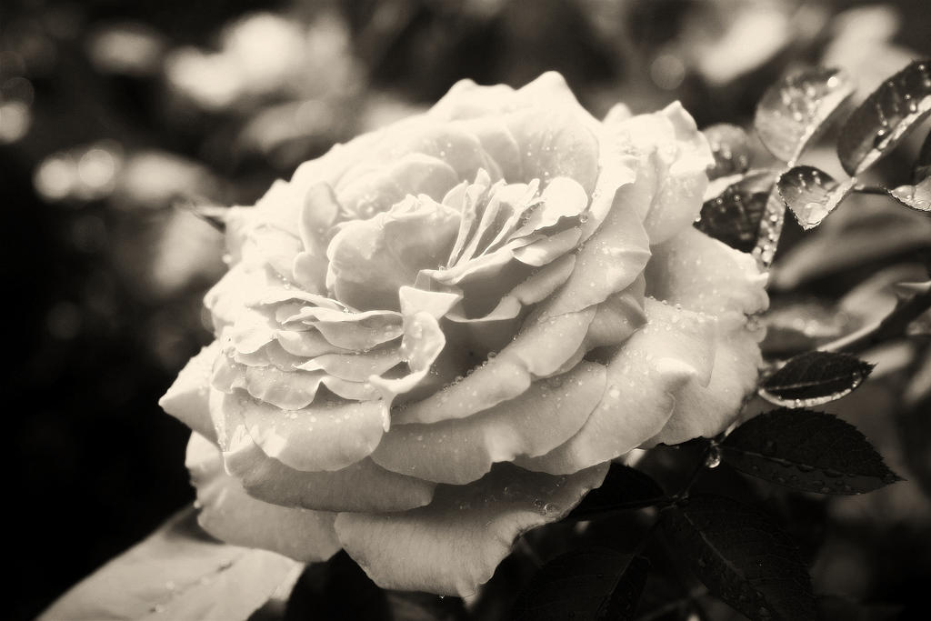 Summer Rose BW