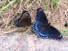 Blue Butterflies by Dendrobatid