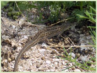 Young lizard by Defyz