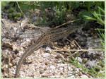 Young lizard