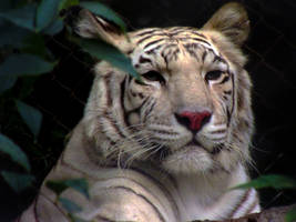 White Tiger by Jaavii