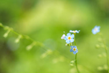 Forget-me-not by Ksantor
