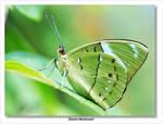 Butterfly XXII