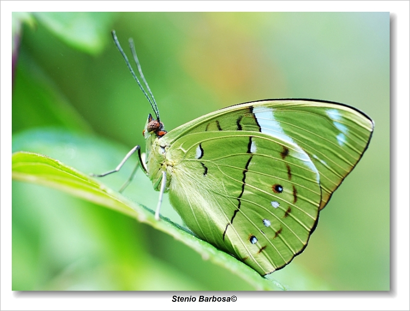 Butterfly XXII by ScoobyUSA