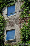 Window Ivy