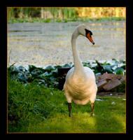 swan by siscanin