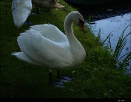 swan no 1 by siscanin