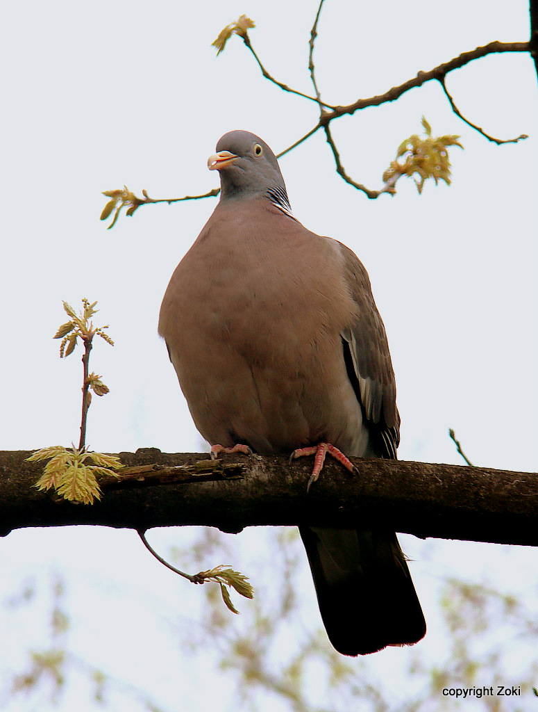 Pigeon by siscanin
