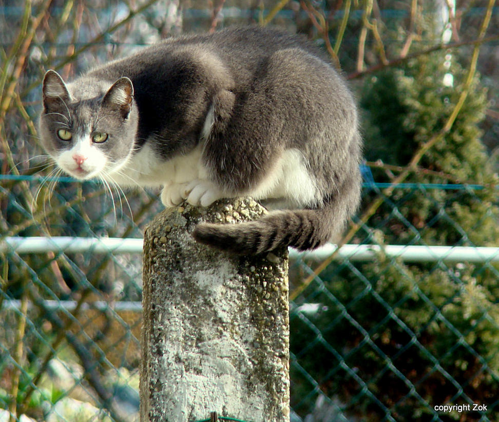 Cat1 by siscanin