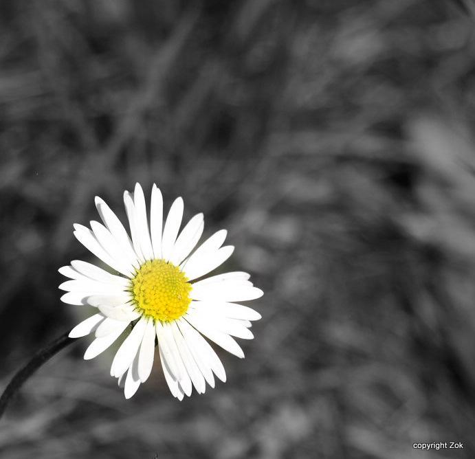 Daisy by siscanin