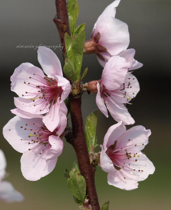 Peach flower by siscanin