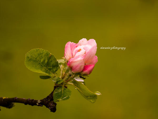 flowering apple by siscanin