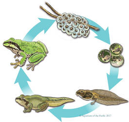 Pacific Tree Frog Life Cycle