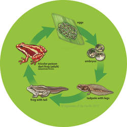 Tricolor Poison Dart Frog Life Cycle